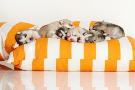 新生児のシベリアン ハスキーの子犬 写真素材