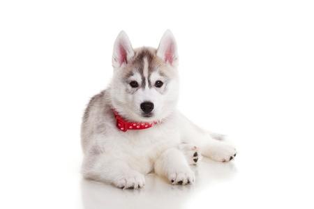 newborn siberian husky puppy photo
