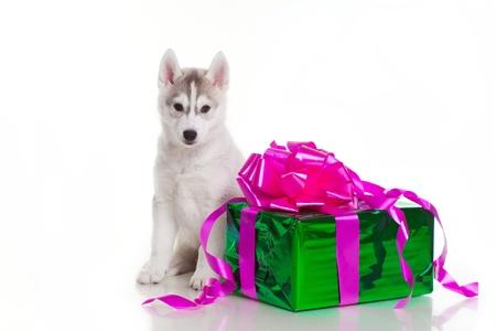 newborn siberian husky puppy Stock Photo