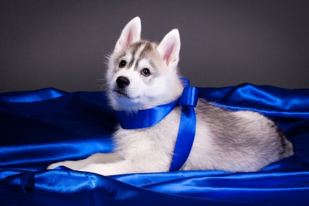blue eye husky: newborn siberian husky puppy Stock Photo