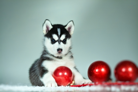 little puppy of siberian husky