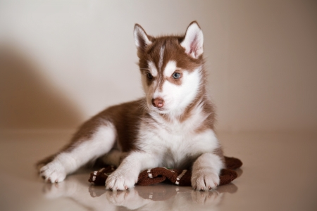 peque�o cachorro de husky siberiano photo