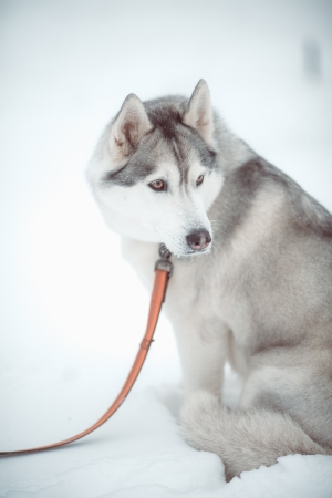 beautiful siberian husky outdoor in winter photo
