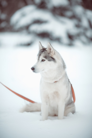 beautiful siberian husky outdoor in winter photo