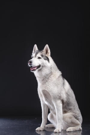 siberian husky sitting on black background photo