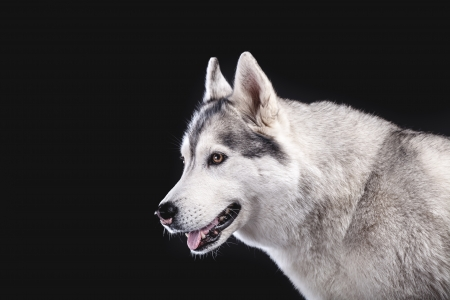 gray wolf black and white: siberian husky on black background closeup Stock Photo