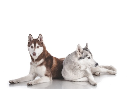 two siberian husky isolated on white Stock Photo - 18337327