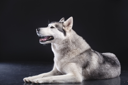 siberian husky on black background photo