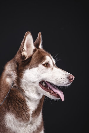 siberian husky on black background closeup photo