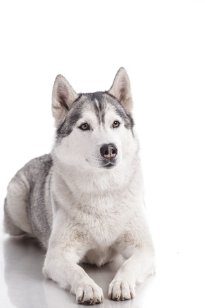siberian husky isolated on white photo