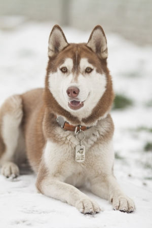 beautiful dog breed siberian husky in winter photo