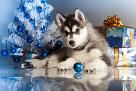 siberian husky puppy with christmas decoration stock photo 23322667