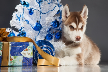 siberian husky puppy with christmas decoration stock photo 23322425