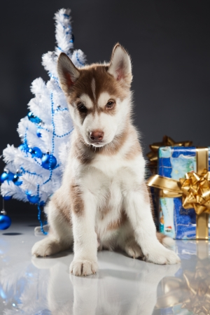 siberian husky puppy with christmas decoration stock photo 23322436