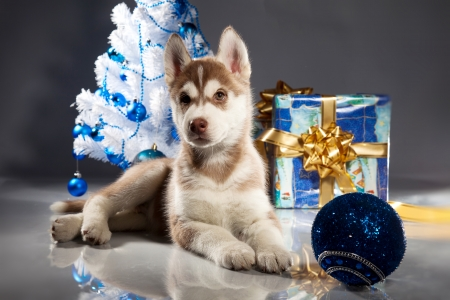 siberian husky puppy with christmas decoration stock photo 23322440 - Husky Christmas Decoration