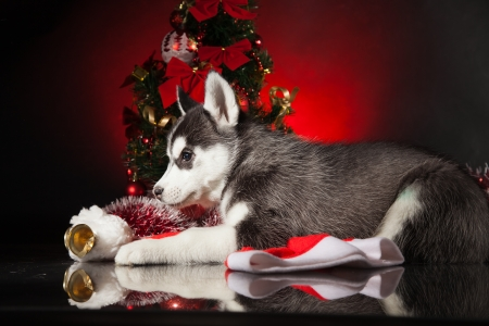 siberian husky puppy with christmas decoration stock photo 23321977