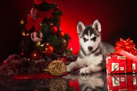 dog sled: siberian husky puppy with christmas decoration Stock Photo