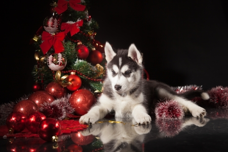 siberian husky puppy with christmas decoration stock photo 23321983