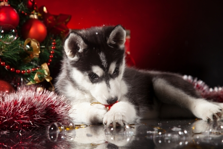 siberian husky puppy with christmas decoration stock photo 23321990