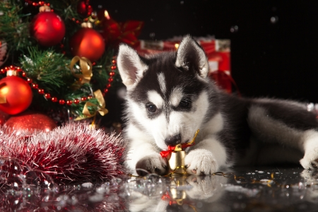 siberian husky puppy with christmas decoration stock photo 23321954