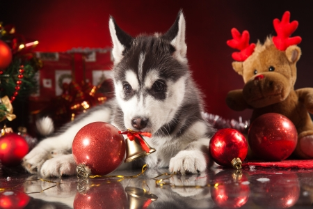 siberian husky puppy with christmas decoration stock photo 23321957 - Husky Christmas Decoration
