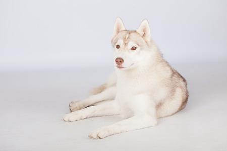 fluffy: Esponjoso perro lindo del husky siberiano en estudio
