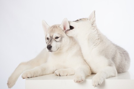 puppy: Cute fluffy Siberian Husky puppies in studio
