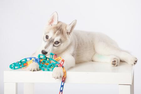 siberian husky: Cute fluffy Siberian Husky puppy in studio