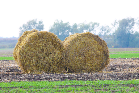 haymow: Rolls of haystacks on the field after harvesting wheat Stock Photo