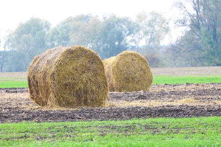 Rolls of haystacks on the field after harvesting wheat Stock Photo