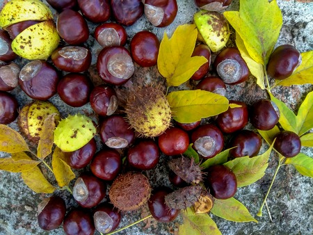 horse chestnut seed: Ripe chestnuts on ground, outdoor shoot, top view, autumn background