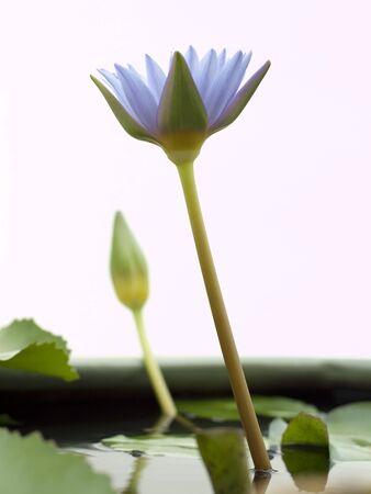 Lotus in Phu Khao Thong