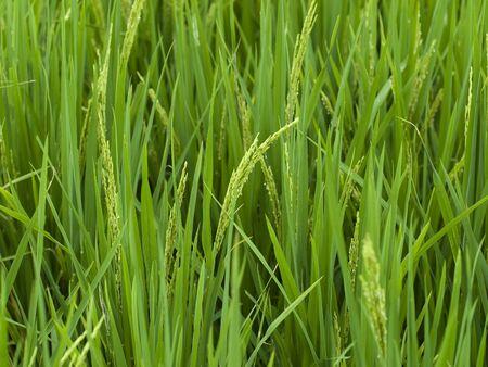 rice grown
