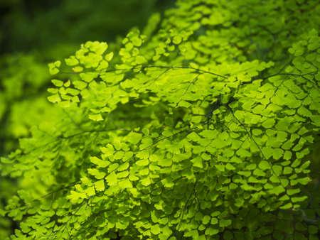maidenhair fern or venus hair fern, Natural background and wallpaper.