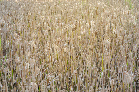 bullrush: Typha angustifolia In the field of nature Stock Photo