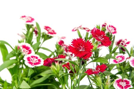 fire flower: Crimson Picot Natural, Outdoor, Pink,