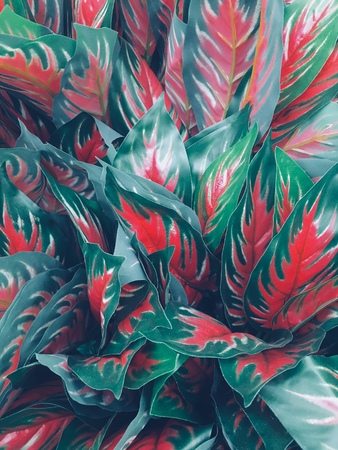 Aglaonema commutatum Red leaves are very beautiful hands in the garden.