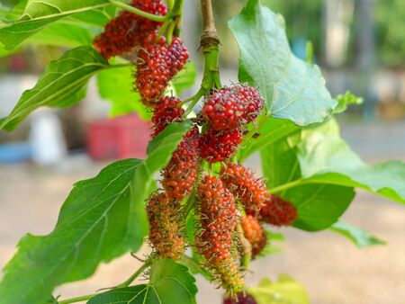 Red young mulberry on mulberry tree