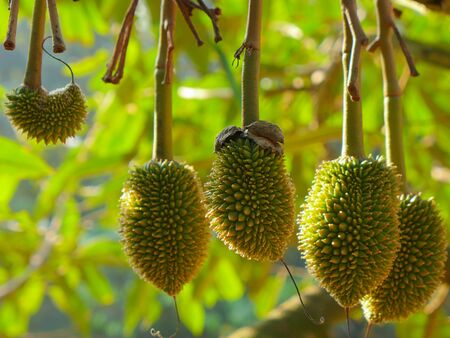 Small Durians on durian tree