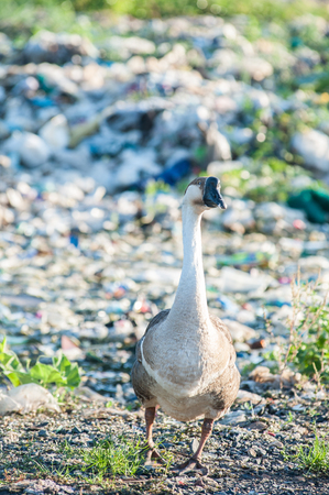 preen: Geese living and lives in a garbage dump.