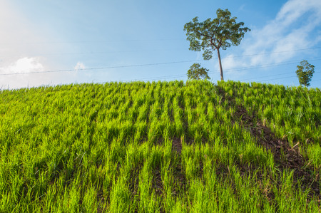 Vetiver grass to prevent soil erosion maintain and preserve the balance of nature.