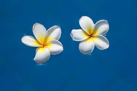 Plumeria flowers floating on swimming pool
