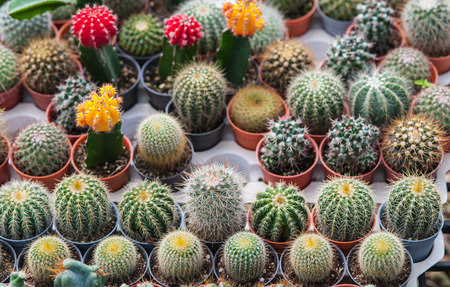 cactus species: Many species of cactus in a pot.