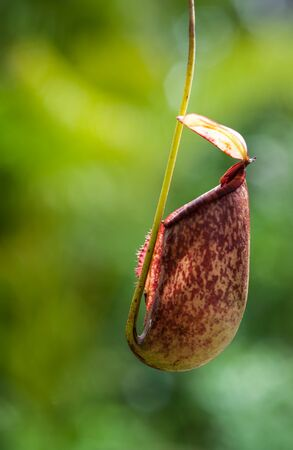 carnivorous: Nepenthes carnivorous plant