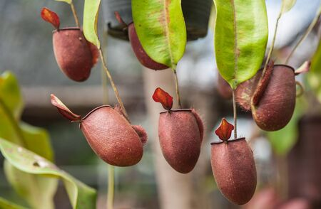 nepenthes: Nepenthes carnivorous plant