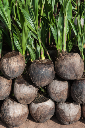 coconut seedlings: Coconut seedlings in the nursery.