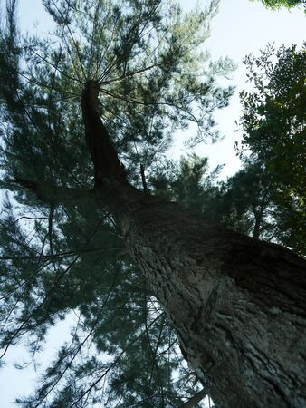 treetops: look up pine treetops green