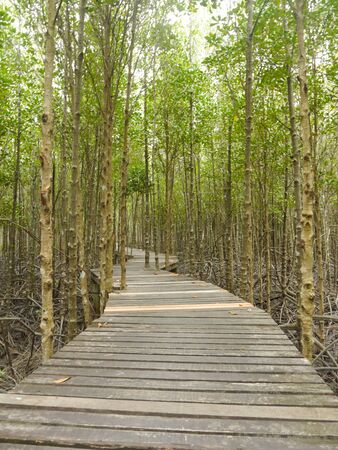 mangrove forest: Footpath in Mangrove Forest