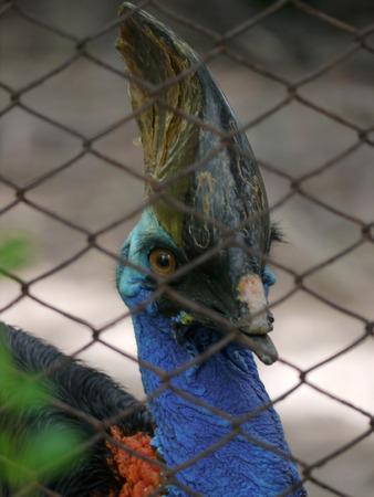 cassowary: Bird, Animal,Cassowary,Multi Colored