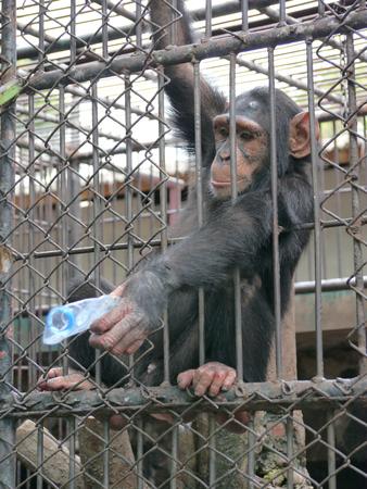 animal limb: Chimpanzee In Cage At Zoo